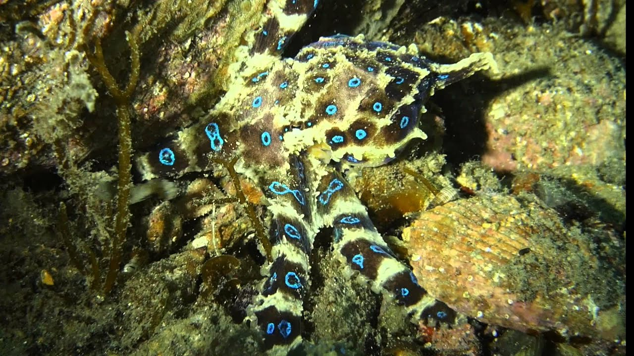 Blue ringed octopus tattoo james bond - photo#13