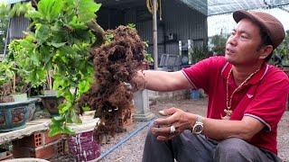 Tạo dáng đổ đẹp cho mai bonsai từ cây bỏ đi (Lê Quý bonsai)
