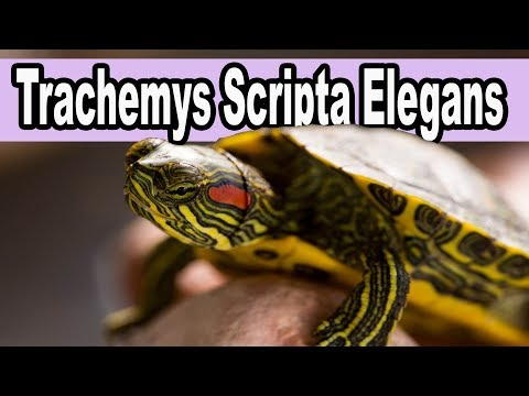 Trachemys Scripta Elegans