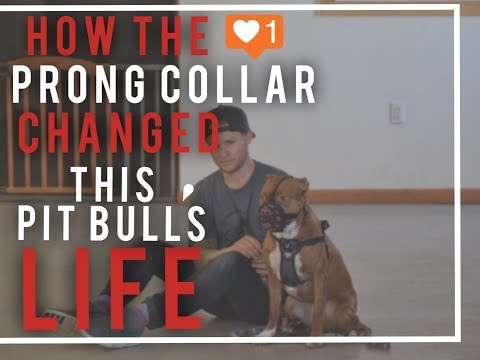 Dog Training Tools- A Prong collar saved my dogs life--Americas Canine Educator saves a pitbull