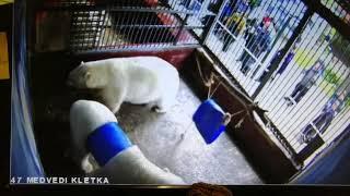 Спасение белого медведя Сэрику