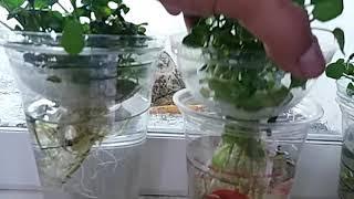 미나리 수경재배  water parsley hydrop…