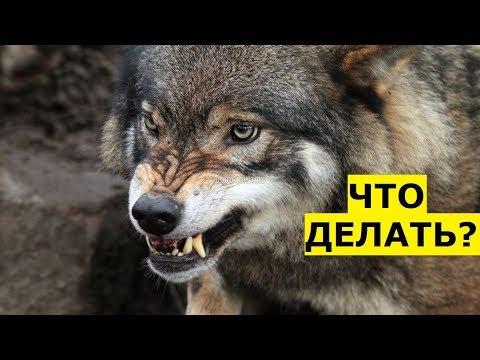 Что делать при встрече с волком в лесу?