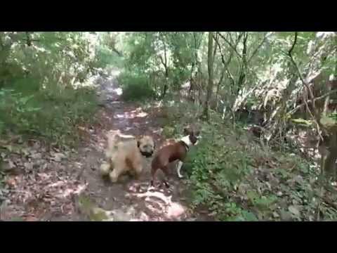 Murphy the Wheaten Terrier - Puppy Camp
