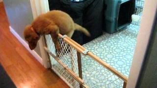 Golden Retriever Puppy - Escape Artist