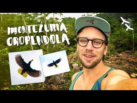 VeenPrints - MONTEZUMA OROPENDOLA (Costa Rica)