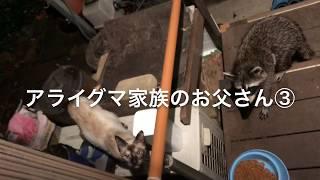 アライグマ家族のお父さん ③ thumbnail