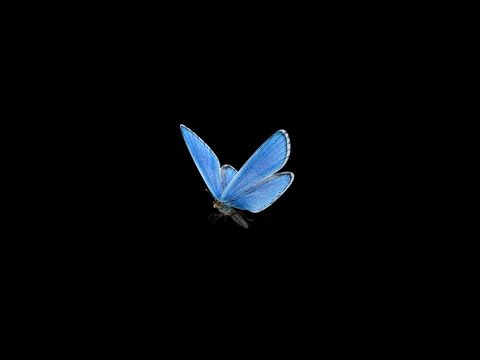 Flying Butterfly - Blue Adonis - Loop - Alpha channel