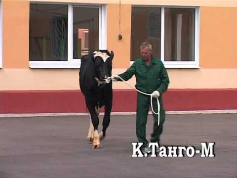 ОАО Московское быки производители