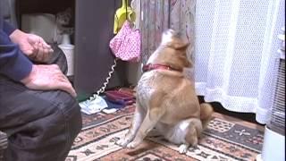 「ごはん」と言わされる、チビと言う名の犬 Chibi Dog