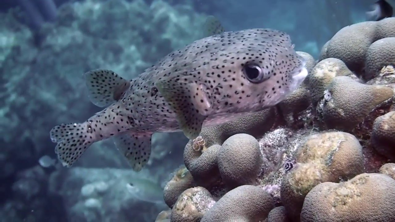 Pufferfish youtube for What is a puffer fish