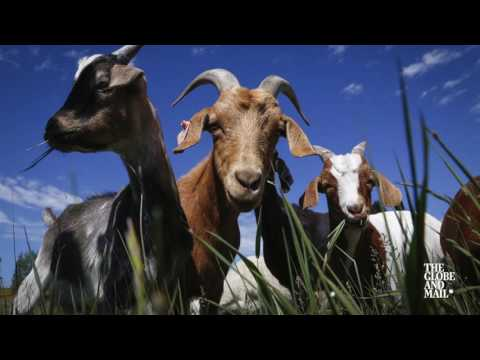 Goats take on weed control duties in Calgary parks