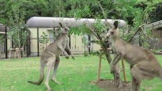 横浜市立金沢動物園のオセアニア区が2016年4月22日にリニューアルオープ...