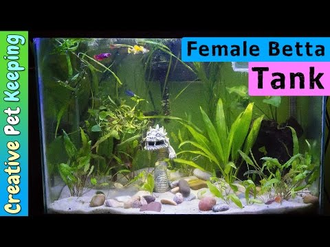 Starting A Female BETTA SORORITY TANK With Guppies