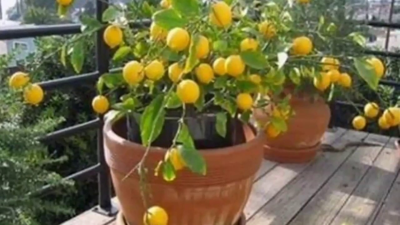 Como plantar maracuj como cultivar maracuj youtube for Como cultivar peces en casa