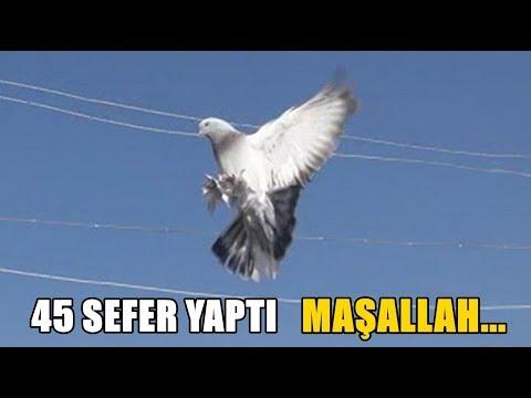 45 SEFER YAPIP 105 DK. UÇAN SEFERLİ GÜVERCİN - Güvercin Videoları