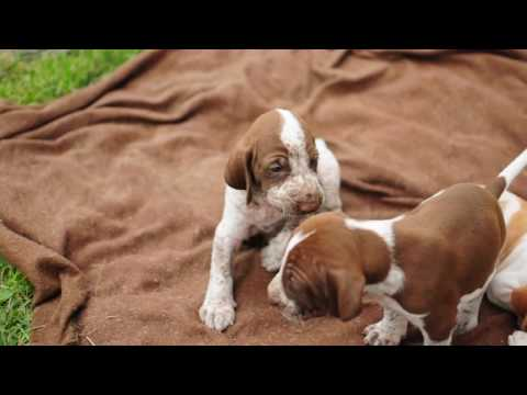 Bracco Italiano Puppies - Di Pannonia Valeria Kennel, Hungary