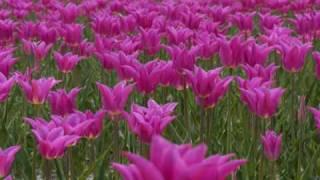 Lovely flower tulip♪ 堀井沙織 動画 16