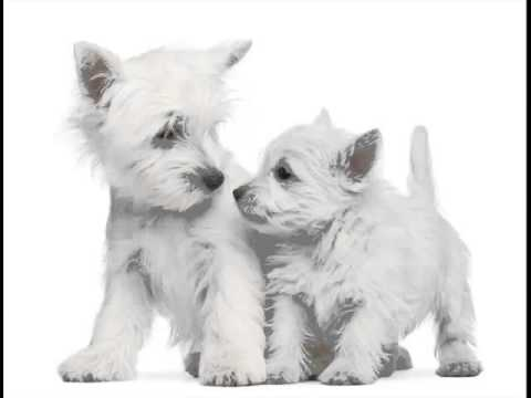 Collcetion Of Dog Breed West Highland White Terrier Pictures | West Highland White Terrier Dogs