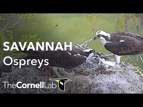 Savannah Ospreys Multicam View