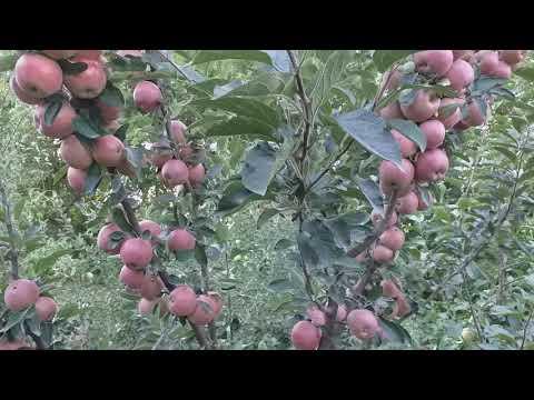 Яблоня сорт Джонаголд Декоста (apple Jonagold Dacosta). Лучшие сорта в хранении. Яблоко - персик :).