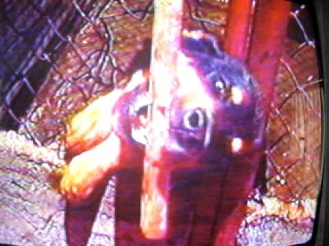 la rabia en los perros video.com.pe