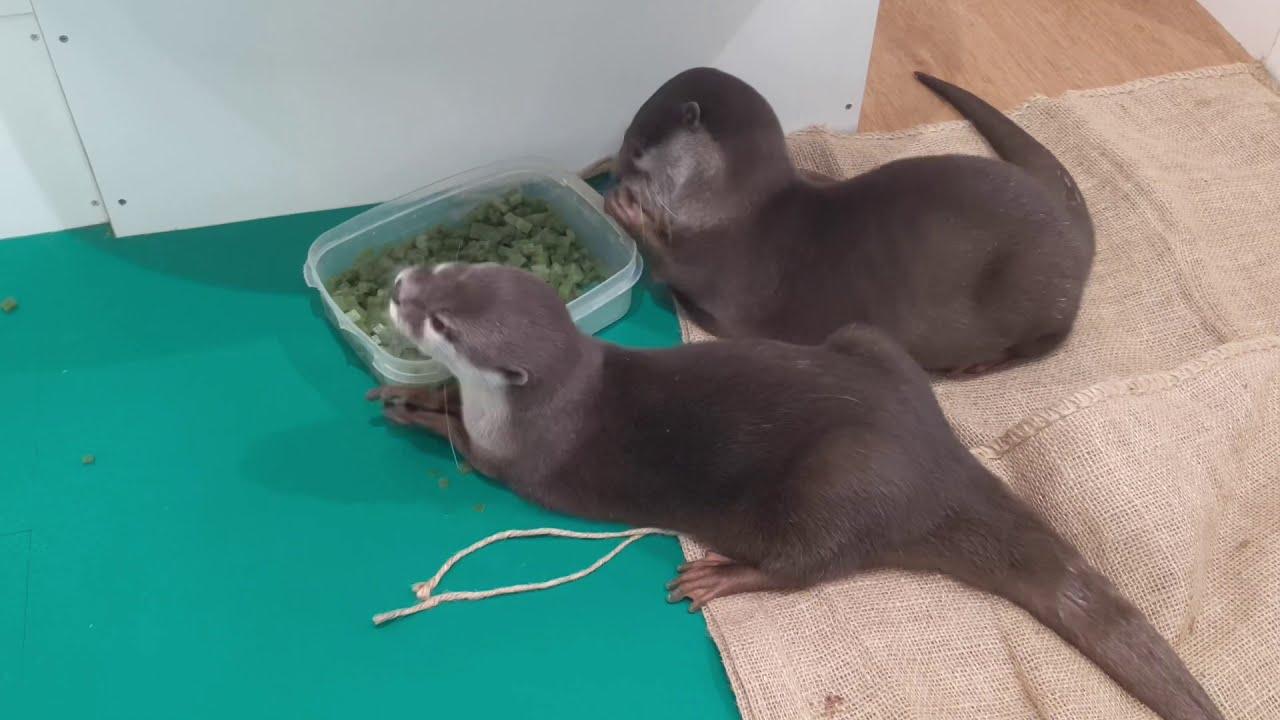 おやつを食べるのが早すぎるカワウソ達 The otters eats snacks very quickly