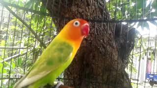 Gambar cover LOVEBIRD PAUD 2 BULAN LANGSUNG NYAUT, SUARA LOVEBIRD NGETIK, MEMASTERI LOVEBIRD YANG LELET