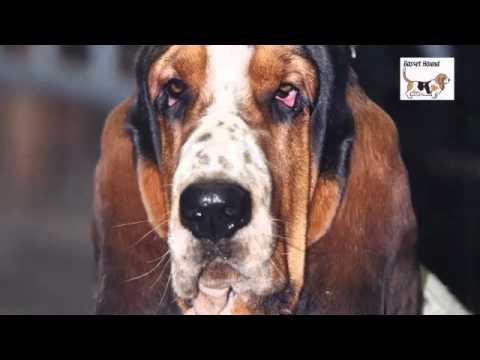 Le Basset Hound - YouT...