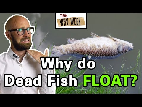 Why Week: Why Do Fish Float Upside Down When They Die?