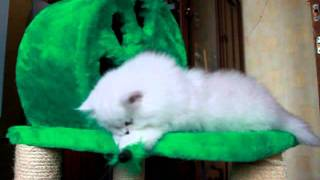 СЕРЕБРИСТЫЕ ШИНШИЛЛЫ,персидские котята