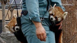 ブドウはどこ?ポケットに顔を突っ込むココ~Red Panda is looking for grapes thumbnail