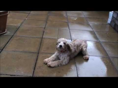 Six Month Old Toy Cockapoo