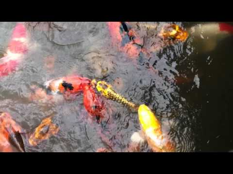 Hungry Koi fish at Seattle's Japanese Garden in the Arboretum