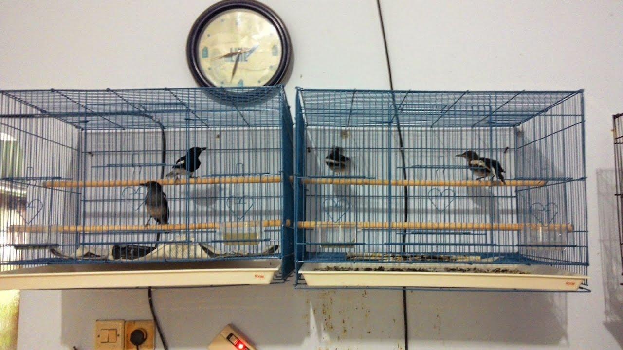 Panduan Lengkap Ternak Burung Kacer Agar Berhasil Dan Sukses Bagi Pemula Youtube