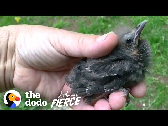 Baby Starling Chooses His Rescuer As His Dad | The Dodo Little But Fierce