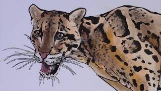 Drawing Clouded leopard. Дымчатый леопард