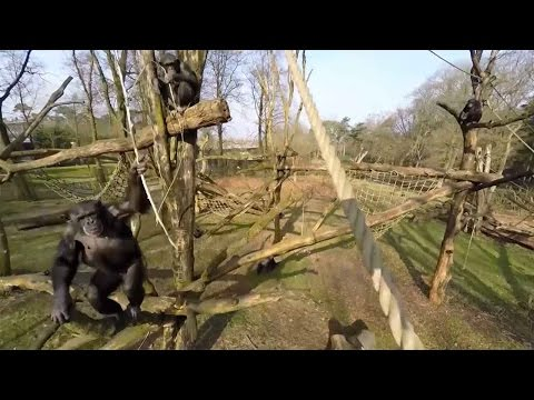 Camera-shy Chimp takes down drone at Netherlands zoo