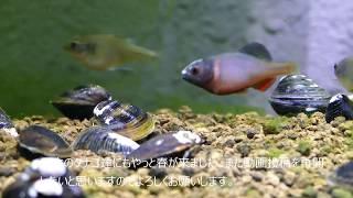 中国のタナゴを飼ってみた(シノロデウスミクロレピス、Sinorhodeus microlepis)