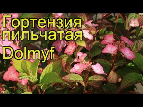 Гортензия пильчатая Долмиф. Краткий обзор, описание характеристик hydrangea serrata avelroz Dolmyf