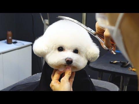 비숑 김치의 귀툭튀 미용 영상