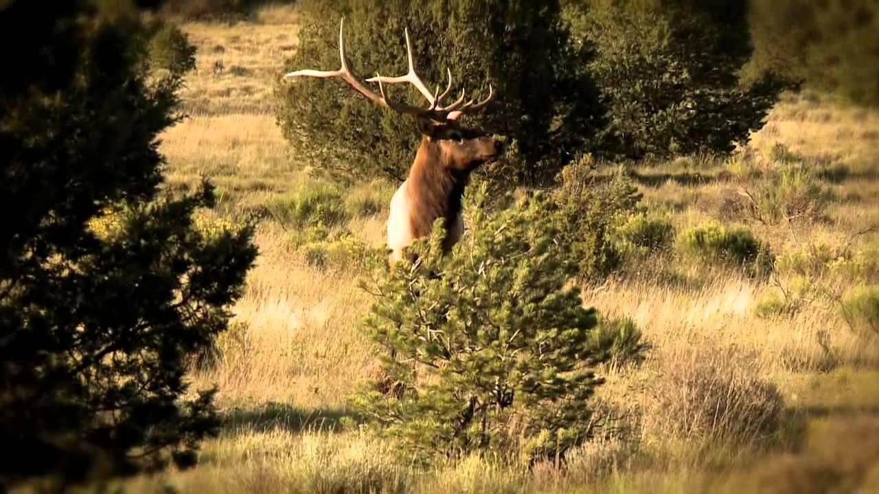 Primal Instincts and Ramcat Broadheads Elk Hunting