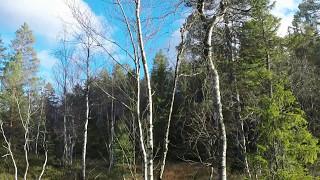 Skogsfugljakt 2014 - black grouse hunting - capercaillie hunting