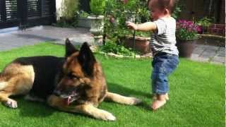 我が家の愛犬ジャーマンシェパード(ローレライ)と11ヶ月になる息子の...