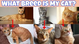 Cat Breed  What breed is my Cat?