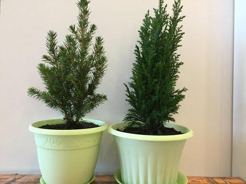 Как сохранить в домашних условиях до весны подаренные на Новый год Кипарис Элвуди и Ель Конику.