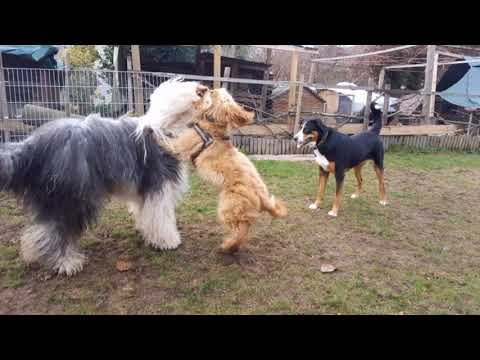 Finn the Old English Sheepdog & Friends