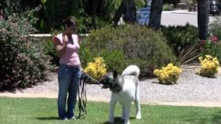 Canine Good Citizen Test Akita Rescue And Comedy