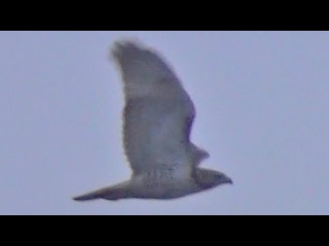 Amazing Peregrine Falcon in Flight
