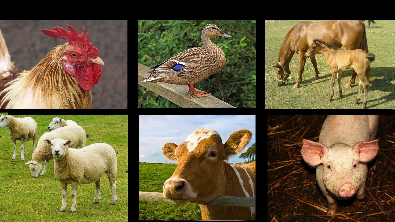 Farm Animal Sounds - An Interactive Game for Kids